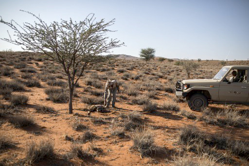 A worker at Thuru Lodge in the semi-arid Kalahari Desert inspects a carcass in January 2020. Even the desert-adapted endemic species are dying after several years of extreme drought in the region.