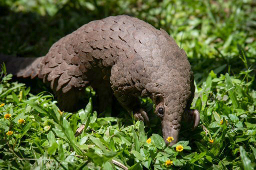 A white-bellied pangolin, one of four African pangolin species