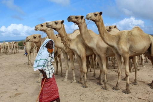 A man sells camels at El Hirka Dhere livestock market in Mogadishu, Somalia, on July 30, 2020, a day before the Muslim festival Eid Al-Adha, the feast of the sacrifice. (STR/AFP)