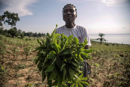 Cassava, also called manioc, is one of the DRC's staple crops. The leaves and the tuberous root are used in a variety of dishes. (Junior D. Kannah/AFP)