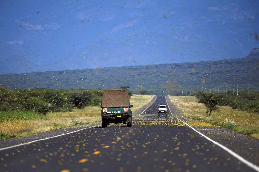 Locusts swarm acros a highway at Lerata village, near Archers Post in Samburu county, approximately 300 kilomters (186 miles) north of kenyan capital, Nairobi