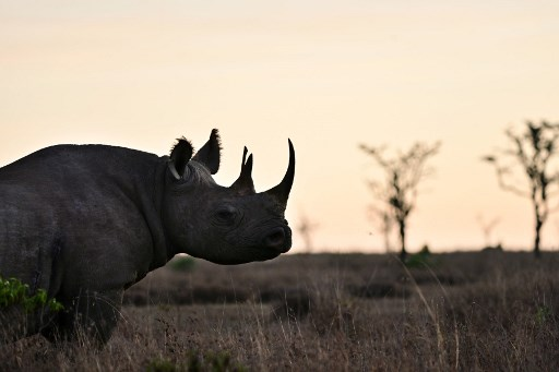 A picture taken on May 28, 2019 shows a black rhinoceros roaming at dawn at ol-Pejeta conservancy at Laikipia's county headquarters, Nanyuki, near Mt. Kenya. Ol-Pejeta, a private conservancy on Kenya's Laikipia plateau that shelters, among other endangered giants, the only two northern white rhinos left anywhere on earth, launched what it calls the world's first wildlife tech lab, that develops the latest technological weaponry to combat poaching.