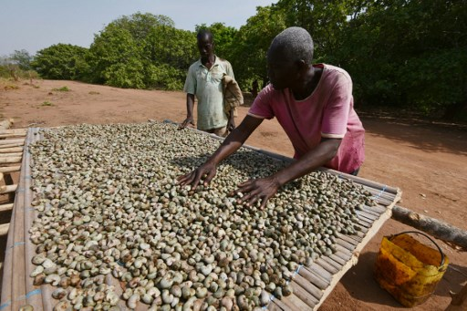 Farmer dry cashews in a plantation of cashew-apple fruits on February 19, 2016 in Bouake. According to Malamine Sanogo, director of the Conseil Coton-Anacarde (CCA), Ivory Coast has become in 2016 the most important producer of cashew nuts in the world. SIA-KAMBOU / AFP